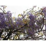 Blauregen >Wisteria sinensis< 50 Samen (Schöne blühende Kletterpflanze Winterhart)