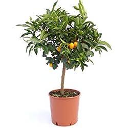 """Kumquat mit Frucht""""Fortunella margarita"""" Citrus Zitrus 60-80 cm Zitruspflanze"""