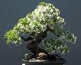 Bonsai Plant Water Jasmine Bonsai Tree Seeds For Home Depot-By Creative Farmer