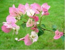 magnoliophyta-strelitzia-reginae-semi-100pcs-semi-delle-piante-ornamentali-strelitzia-fiore-crane-fi