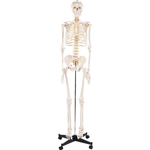 """Anatomie Modell """"Menschliches Skelett"""", groß, ca. 180 cm, geeignet als Lernmodell oder Lehrmittel zur Untersuchung von Funktion, Bau und Bewegung des Körpers, Anatomieunterricht am lebensgroßem Mensch"""