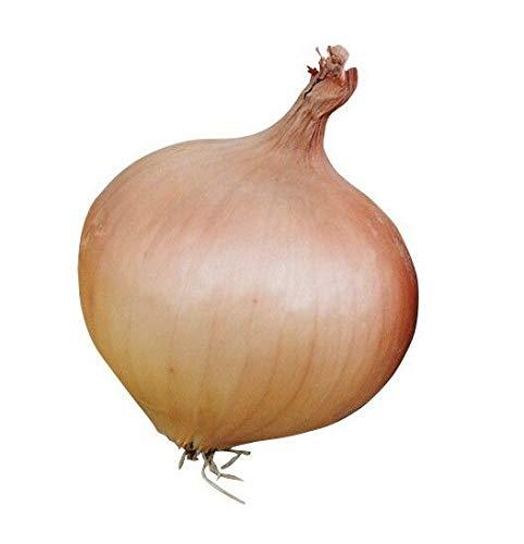 CROSO HOCH KEIMUNG Seeds Nicht NUR Pflanzen: Gemüse - Zwiebel - Sturon - 100 Samen - Große