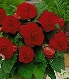 Begonia - Pendula Red & White - Summer Flowering Bulbs