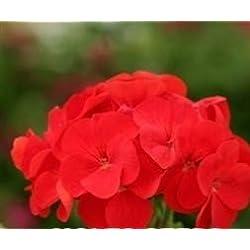 JustSeed Saatgut, Storchschnäbel/ Geranien, Geranium, Sprint Red F2, 10 Samen