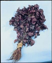 Just Seed Perilla - Shiso Red - 450 Seed von Just Seed - Du und dein Garten