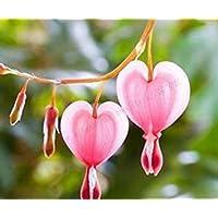 Virtue 100 Piezas/Bolsa Dicentra Spectabilis Semillas Bleeding Heart casa de Jardãn de la Cabaã±a Clã¡Sica, Flores en Forma de Corazã³n en Verano, Raro OrquãDea 4