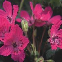 JustSeed Saatgut, Pyrenäen-Reiherschnäbel/Erodium manescavii, ungewöhnlich, 10Samen