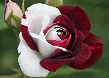 Lady plupart Fevorite fleurs de jardin Graines Pot Bonsai Rose Seed Professional usine Semis de Floer / Vary Couleurs Sélection / 100 pcs