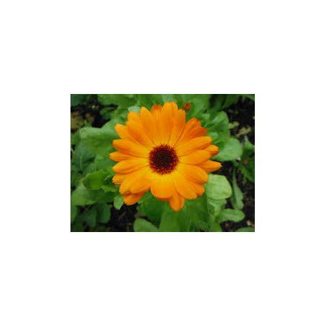JustSeed - Blume - Ringelblume (Calendula officinalis) - Pacific Beauty Mix - 5000 Samen