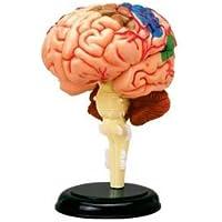BestDental D4 - Puzle de 32 piezas que simula el cerebro humano, modelo para enseñar