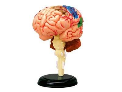 BestDental D4 - Puzle de 32 piezas que simula el cerebro humano, modelo para enseñar la anatomía humana, uso médico