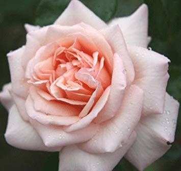 "Shop Meeko gardenexpert Rosa Kletterrose""Penny Lane"""