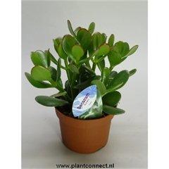 Geldbaum, (Crassula ovata), pflegeleichte Zimmerpflanze, Kübelpflanze, Sukkulente (im 10cm Topf, ca. 15cm hoch)