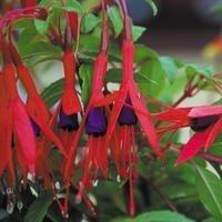 Just Seed Fuchsia Magellanica, Blumen, 50 Samen