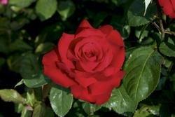 Edelrose 'Grande Amore' -R- ADR-Rose im 4 L Container von Rosen-Union bei Du und dein Garten