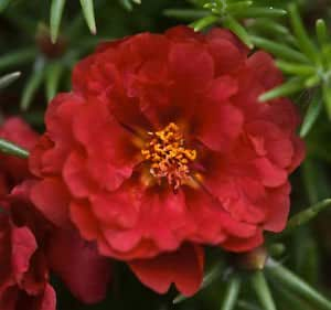 Indian Gardening Red Portulaca Grandiflora / Moss Rose Flower Seeds 20 Finest Seeds