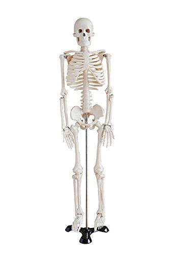 Display4top Mini Human Skeleton Model - 85cm - Medical Educational Training Aid