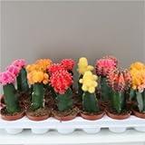 Groß Rainbow Kinn Kaktus–Beliebte Kaktus Vielzahl–Grow Your Own Rainbow–Ideal Starter Cactus Set–Machen Ausgezeichnete Geschenke für Geburtstage–Quirky sieht sie bei Kinder, Jugendliche und Sammlern gleichermaßen–erhältlich als 1oder 3–Gymnocalycium, 1 Pflanze