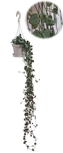 Zimmerpflanzen 3 Pflanzen