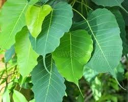 MG Naturals Peepal Bodhi Satva Tree Arasa Maram (Ficus Religiosa) Live Plant with Pot