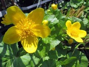 Sumpfdotterblume - Caltha palustris - Wasserpflanze von Staudengärtnerei - Du und dein Garten
