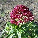 PLAT FIRM Germination Les graines PLATFIRM-Jupiters Barbe Graines de fleurs (Centranthus Ruber COCCINEUS) 50 + Graines