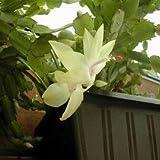 Kostenloser Versand 100Particles/Beutel-Rot Schlumbergera Seed Balkon Bonsai Perennial Blume Schlumbergera Zygocactus Truncatus Seeds 1
