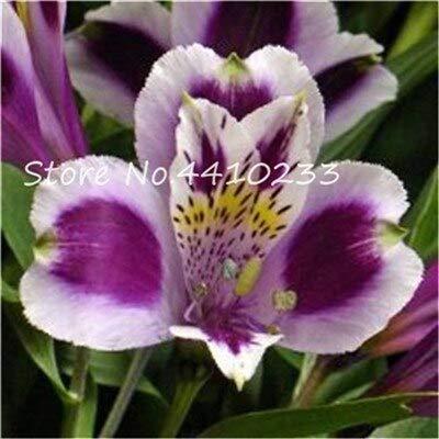 CUSHY Seeds: 100 Stück 24 Arten Alstreria Bonsai, seltene Parfüm Lily Blume, Keimung 95% Bonsai...