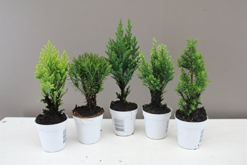 mini-conifer-gift-set-ideal-starter-set-for-young-growers-5-varieties-included-small-size-makes-them