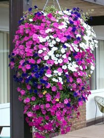 Creative Farmer Tall Phlox Mixed Seeds and Plants