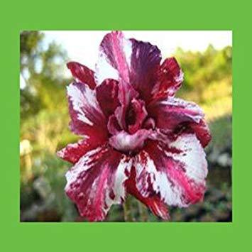 pétales rose Desert Rose Seeds 100% vraie semence de la belle bonsaï en pot fleurs balcon Desert Rose 1PCS de semences