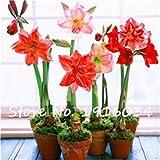 VISTARIC ampoules Real renoncules, bulbes de fleurs belles plantes en pot, (graines de renoncules), plantes vivaces bonsaïs jardin bulbeuse Racine - 1 pc 1