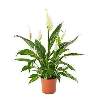 AIRY Einblatt Zimmerpflanze, Spathiphyllum(17 cm Topf). Verbessert Raumklima und Luftqualität. Passend zum AIRY Luftreiniger.