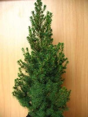 Zuckerhutfichte Picea glauca Conica 60 - 70 cm hoch im 3 Liter Pflanzcontainer von Plantenwelt Wiesmoor bei Du und dein Garten