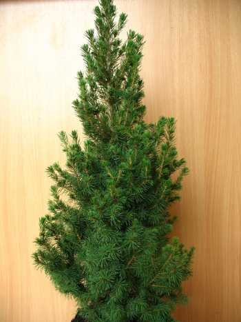 Zuckerhutfichte Picea glauca Conica 60-70 cm hoch im 3 Liter Pflanzcontainer