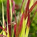 Japanisches Blutgras Imperata Red Baron von VDG-Stauden bei Du und dein Garten