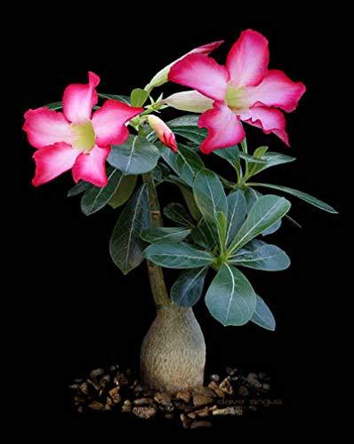 Portal Cool Adenium Obesum Seeds Breed Holland, Obi Summum 20 Samen