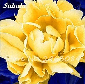 Vente 10 pièces / sac rares Couleur Pivoine Graines Heirloom Sorbet robuste Graines Pivoine Bonsai Pot de fleurs pivoine Graines de fleurs Jardin Plante 17