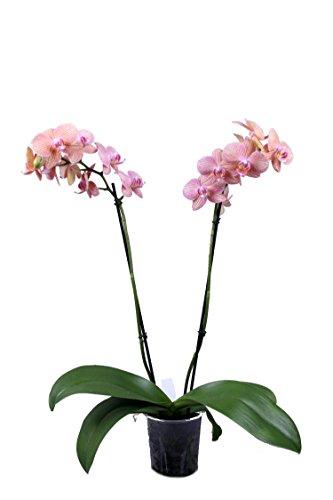 Schmetterlingsorchidee Mimi 'Salmon Stripes', Orchidee 2 Rispen orange Blüten, LH 30-50 cm, Topf 12 cm, Phalaenopsis