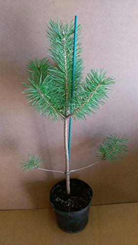 Portal Cool * Ãrbol de Pino Pinus sylvestris * 1,5 litros Pot * C B 4 U * Comprar Pino Silvestre