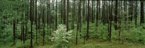 The Poster Corp Panoramic Images - Flowering Dogwood (Cornus florida) trees in a forest Alabama USA Photo Print (91,44 x 30,48 cm) - Flowering Dogwood Tree