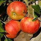 Apfelbaum Elstar 10L Co.