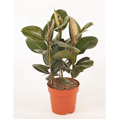 Gummibaum 70cm 3er Tuff Ficus elastica Robusta Zimmerpflanze
