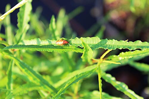Farnblättriger Faulbaum 'Fine Line'® - starke Pflanze im grossen 5lt Topf