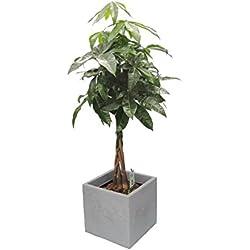 Glückskastanie (Pachira) 60-80cm hoch, 1 Pflanze im Scheurich Topf C-Cube ca. 29x29x27 cm, stony grey