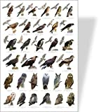 Birds of Prey Educational Poster - 32 European Birds of Prey