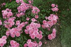 'Bad Birnbach' -R-, Beetrose, ADR-Rose, A-Qualität Wurzelware