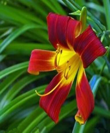 100 PCS couleurs Lily Graines, lys parfum bon marché Graines, Couleur Rare Flower Garden plantes - Mixing différentes variétés 1
