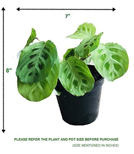 The Four Seasons Maranta Leuconeura Kerchoveana Natural Live Prayer Plant in Pot