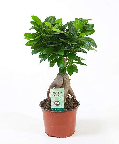 Bonsai Baum Ficus Ginseng 30-35 cm Topf - Ø ca. 12 cm